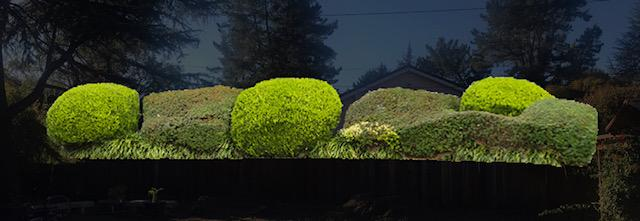 dwarf yaupon and boxwood hedge