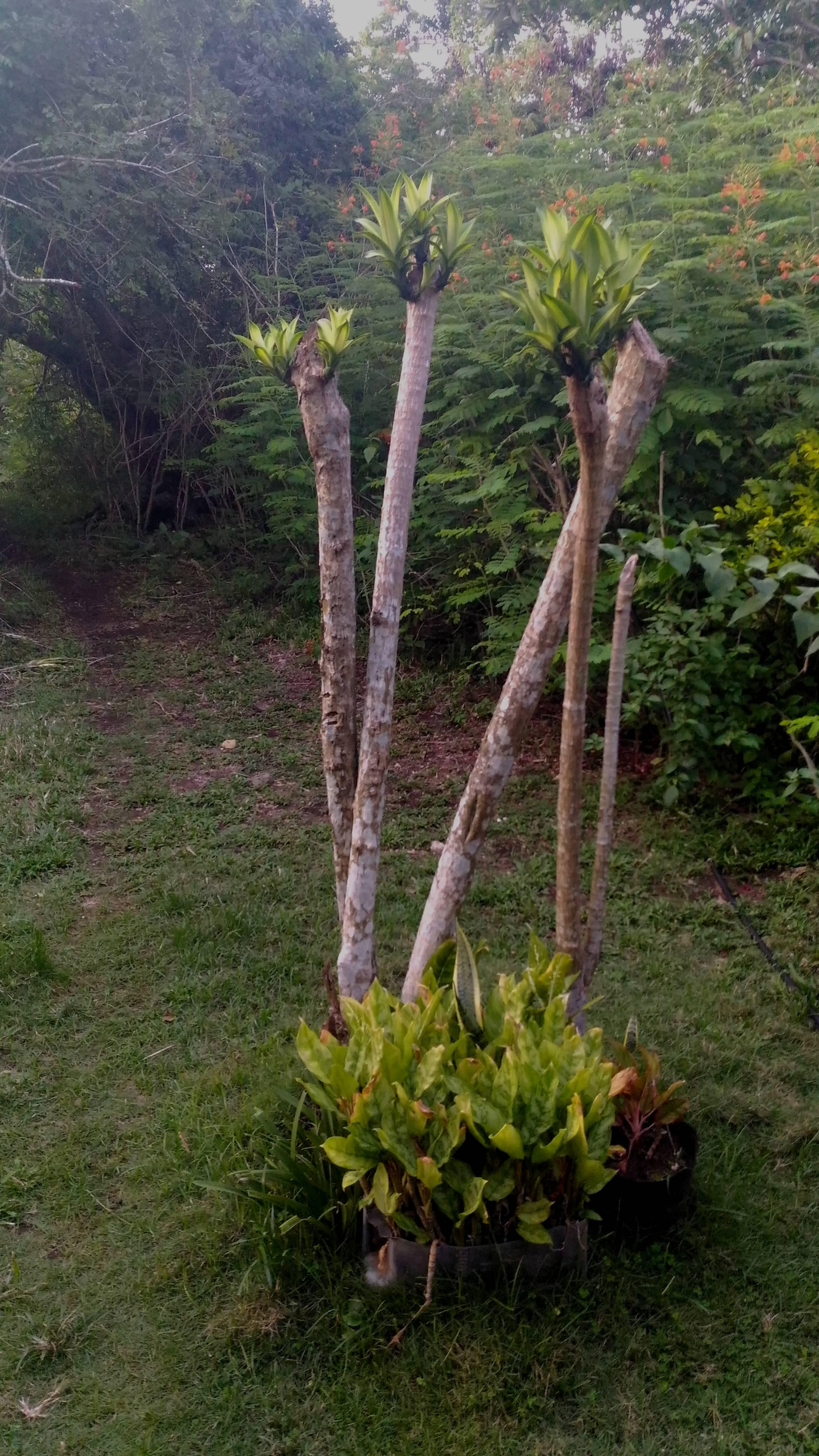 Beheaded corn stalk plant