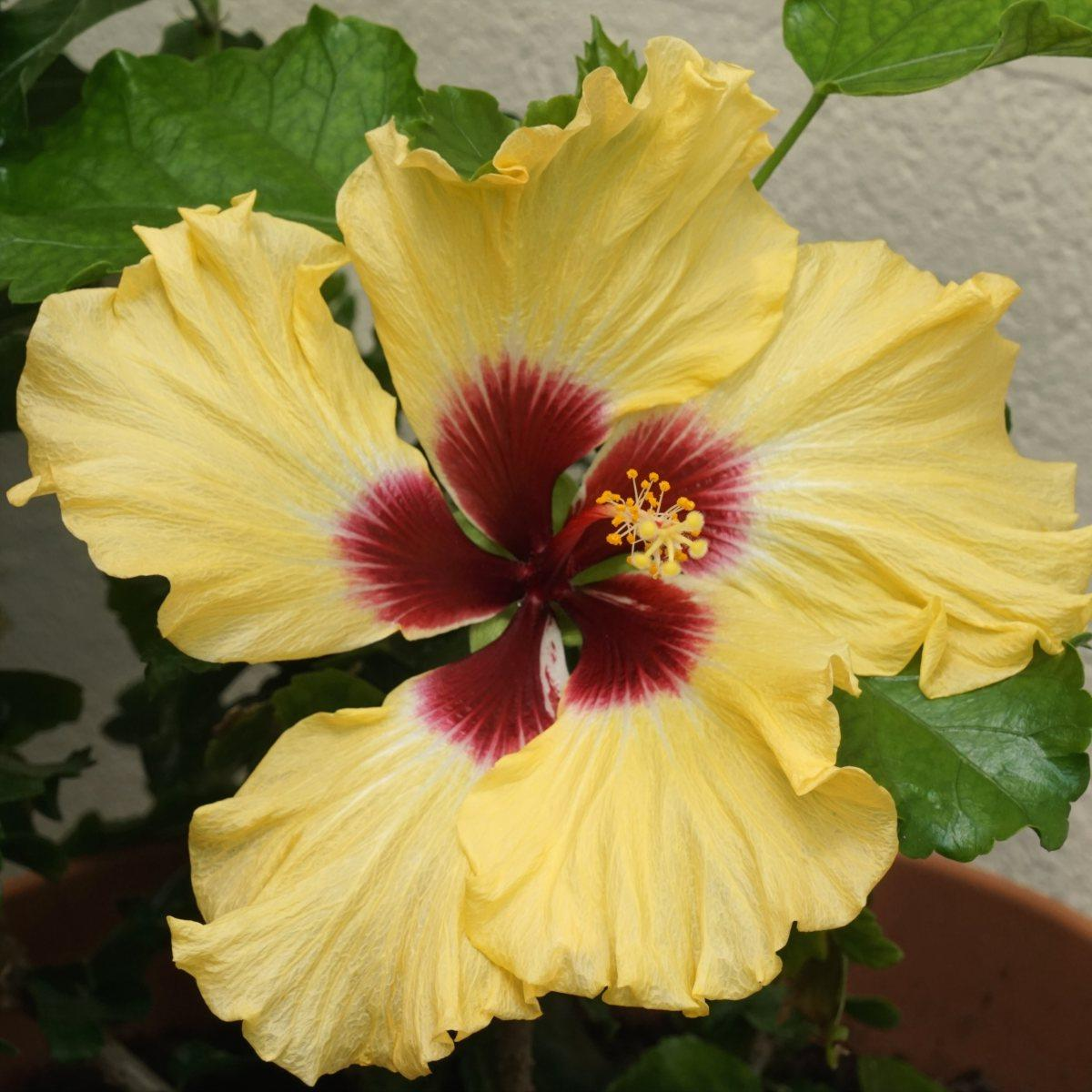 hibiscus in my lean-in