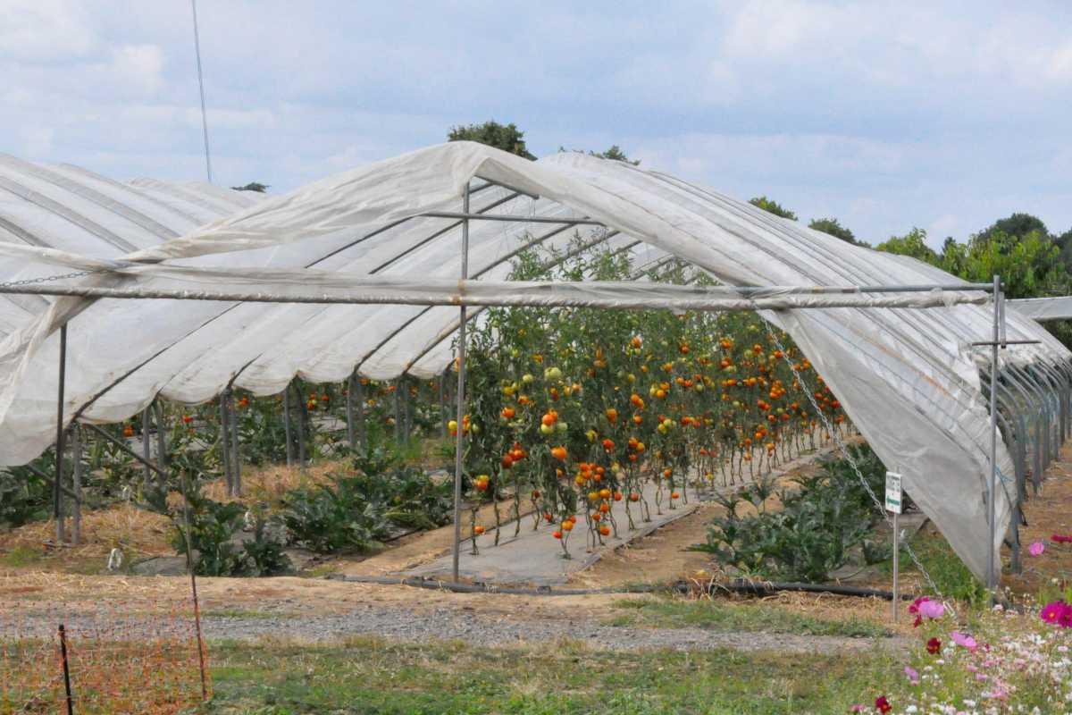 tomato-greenhouse-picking-fruits-visitors