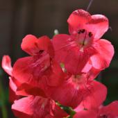 Red trumpet penstemon flower bloom close up.