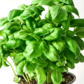 Basil growing in a container pot.