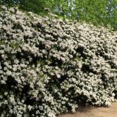 Flower hedge