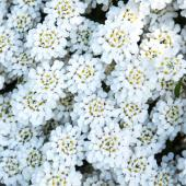 Candytuft spreading ground cover, white.