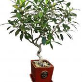 Ficus retusa bonsai in a red enamel clay pot.