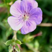 Single, pale violet geranium rozanne flower.