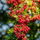 Bountiful branch of red hawthorn berries.