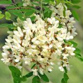White cluster of black locust flowers