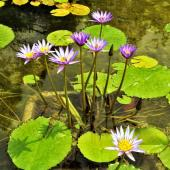 Lily flowers in a natural pond created in a garden.