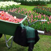 A wheelbarrow in front of tulip beds show introduce spring garden tasks.