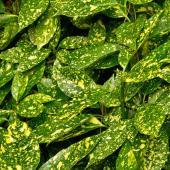 Spotted laurel leaves