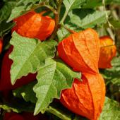 Physalis plant in full fruit