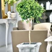 Two ficus benjamina houseplants in an elegant setting.