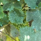 Bordeaux mix fungicide