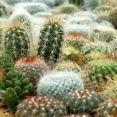 Cactus plants crowded together.