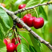 A few cherries hanging from a branch on a cherry tree.