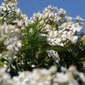 Choisya ternata bush in full bloom against a deep blue spring sky