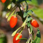 Lycium, the goji berry tree, with red goji berries on a leafed branch.