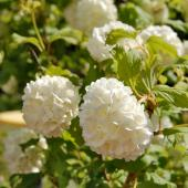 Hedge grown with guelder-rose