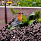 Healthy soil attracts all sorts of beneficial animals like this robin.