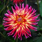 Top bulbs for summer blooming, like this dahlia.