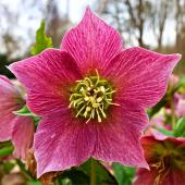 An open pink winter flower, the Christmas rose or hellebore.