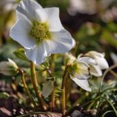 Winter flower for planting, hellebore