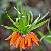 Wonderful orange-blooming crown imperial