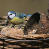 Blue tit in feeder tray