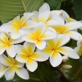 Frangipani flower tree