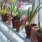 flowering plants in winter on a windowsill: hyacinth and poinsettia