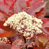 Photinia shrub with a cluster of white flowers in the foreground and bright red leaves in the background.