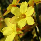 Two yellow winter jasmine flowers.
