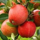 Luscious apples on the apple tree.