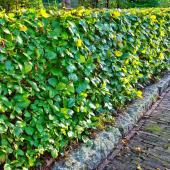Flowered? Evergreen? Deciduous? The right hedge for you
