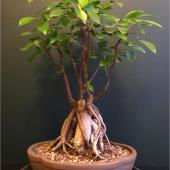 Old ficus ginseng with beautiful roots.