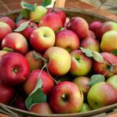 Increase fruit harvest - a basket of apples.