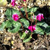 Young ivy-leaved cyclamen plant with ivy-like leaves and dark pink flowers, in a bed of gravel.