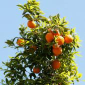 A loaded orange tree against a bright blue sky.