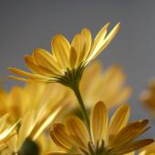 Yellow osteospermum flowers indoors.