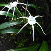Two white spider lily flowers with thick glossy leaves.