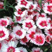 China pink flowers.
