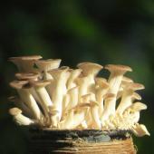 Oyster mushrooms growing.