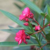 Oleander, a lively summer shrub