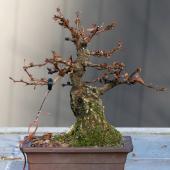 Berberis bonsai grown from stump of a larger shrub.