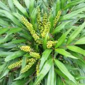 Leaves and young flowers of the Mahonia eurybracteata shrub