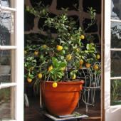 A potted lemon tree with fruits being wheeled out into the sun.