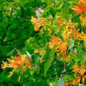 Orange-yellow honeysuckle, a fragrant climbing vine