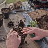 Repotting seedlings without leaving the house