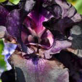 Black plants, here an iris, for the garden